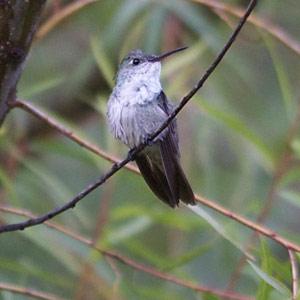 A la recherche des colibris endémiques du Pérou