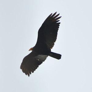 L'utilisation des ascendances thermiques et dynamiques par les oiseaux