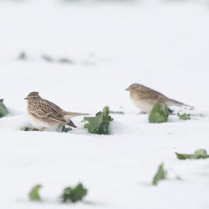 La neige, le Chat sauvage  et les Alouettes des champs