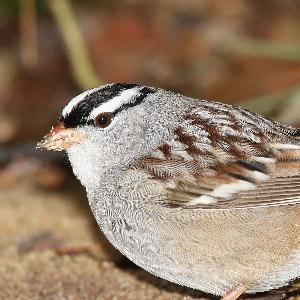 L'organe paratympanique, le baromètre interne des oiseaux