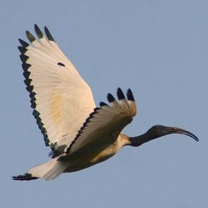 Dominique Aribert (ONCFS) : un point sur l'élimination de l'Ibis sacré en Loire-Atlantique