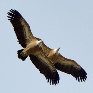 La polyandrie chez les oiseaux