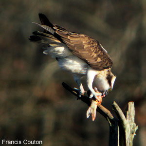 Le Balbuzard pêcheur : situation en France et observation en forêt d'Orléans