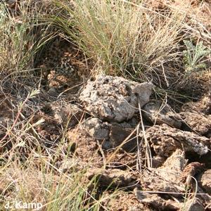 L'Alouette nègre rassemble du crottin près de son nid