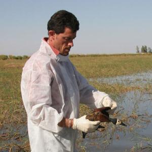 Grippe aviaire : deux spécialistes du Cirad nous en disent plus