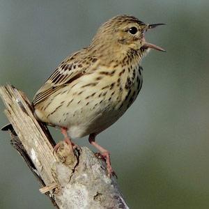 Apprendre à reconnaître et à retenir les chants et les cris des oiseaux