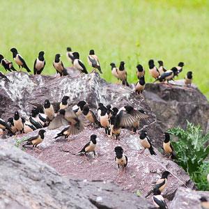 L Etourneau Roselin Et Les Criquets Une Relation Etroite Ornithomedia Com
