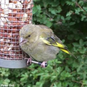 La trichomonose chez les oiseaux des jardins : présentation et prévention