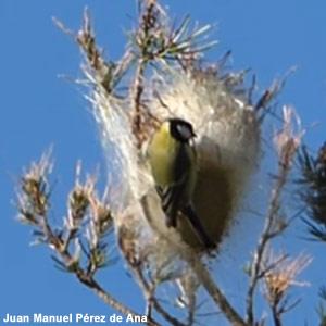 Favoriser certains oiseaux pour lutter contre la Processionnaire du pin