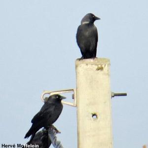 Choucas des tours : cherchez les oiseaux orientaux !
