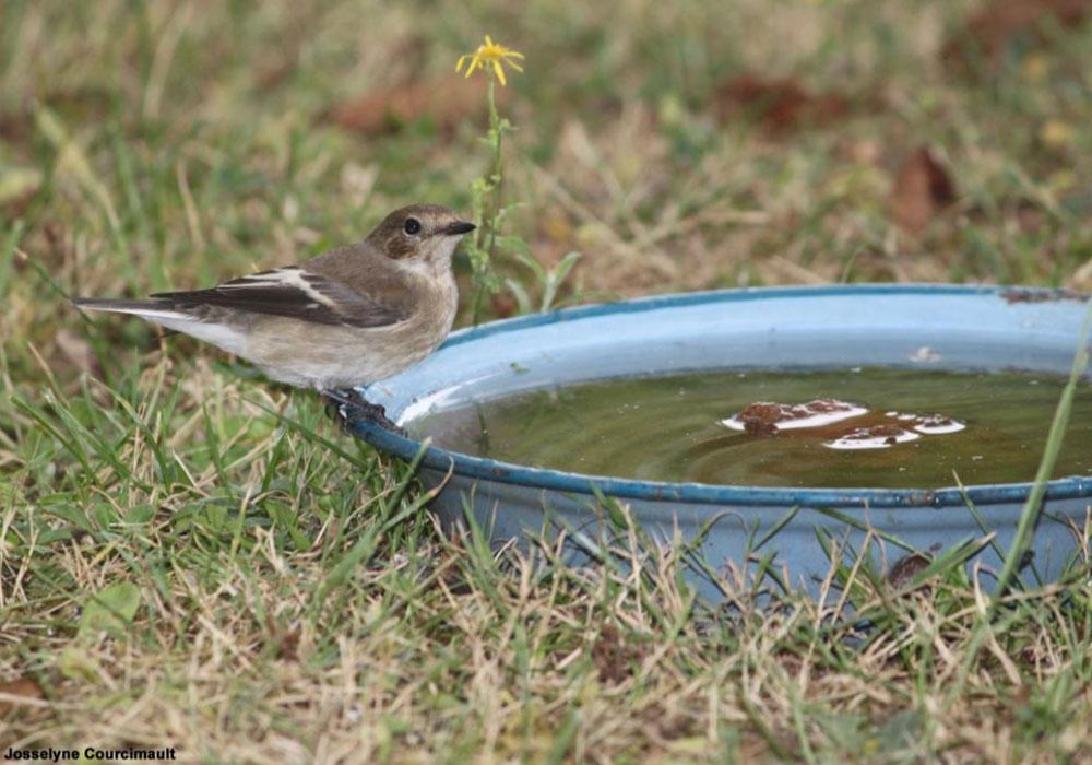 Identifier Les Oiseaux Des Jardins Et Des Parcs Au Printemps Et En Ete Ornithomedia Com