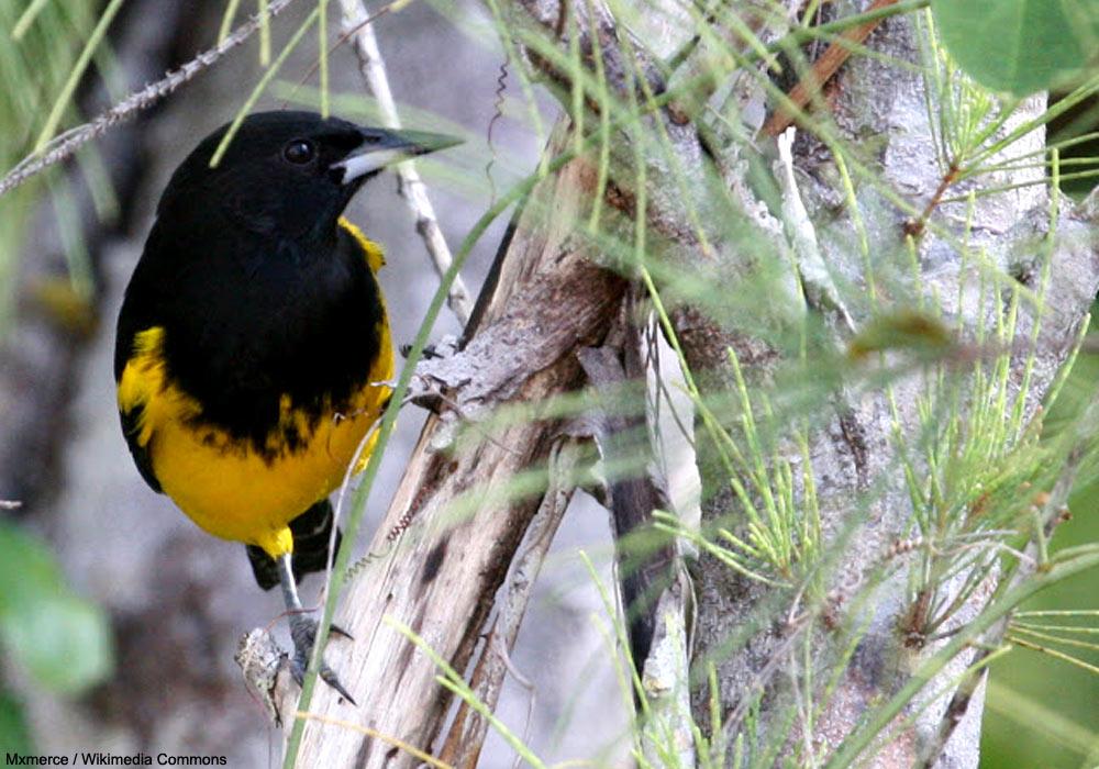 L'Oriole des Bahamas serait beaucoup moins rare qu'on ne le craignait   Ornithomedia.com
