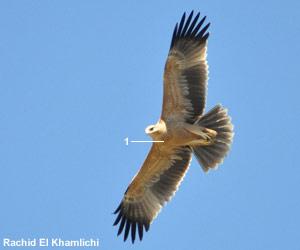 Aigle ibérique (Aquila adalberti) de première année