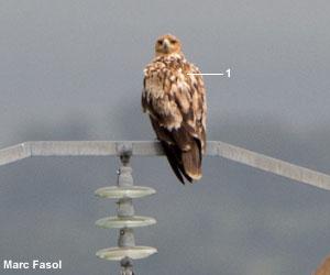 Aigle ibérique (Aquila adalberti) immature