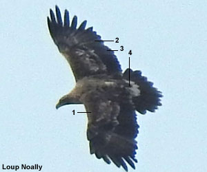 Aigle impérial (Aquila heliaca) de troisième année