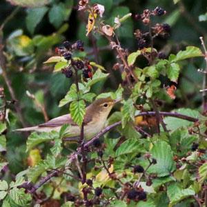 Des fruits riches en antioxydants dans votre jardin pour les oiseaux