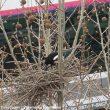 L'élagage de printemps et d'été, une menace pour les oiseaux (et les arbres)