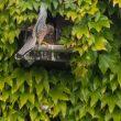 Favoriser la nidification du Faucon crécerelle sur sa maison : un exemple réussi