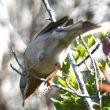 Distinguer les mâles des Fauvettes passerinette, de Moltoni et des Balkans au printemps