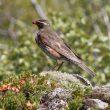 Comment identifier les Grives mauvis d'Islande ?