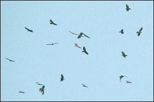 Vol de Bondrées apivores (Pernis apivorus)