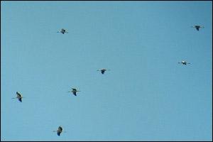 Cigognes blanches (Ciconia ciconia)
