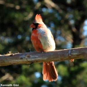 Le gynandromorphisme : des oiseaux mi-mâle mi-femelle