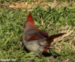 Cardinal rouge (Cardinalis cardinalis) atteint de gynandromorphisme bilatéral