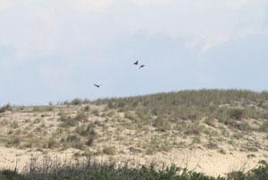 Houspillage d'un Faucon hobereau (Falco subbuteo) par des Corneilles noires (Corvus corone) et une Pie bavarde (Pica pica),