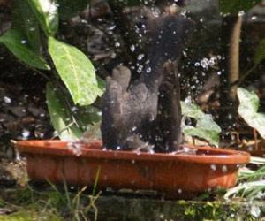 Merle noir (Turdus merula) se baignant