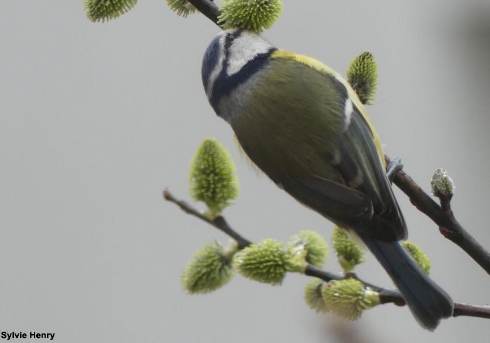 Des oiseaux européens peuvent aussi prélever le nectar des fleurs   Ornithomedia.com