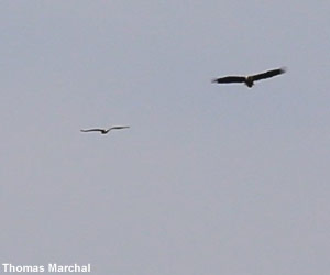 Pygargue à queue blanche (Haliaeetus albicilla) et Balbuzard pêcheur (Pandion haliaetus)