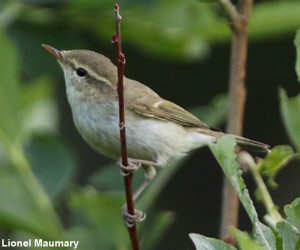 Pouillot verdâtre (Phylloscopus trochiloides) femelle