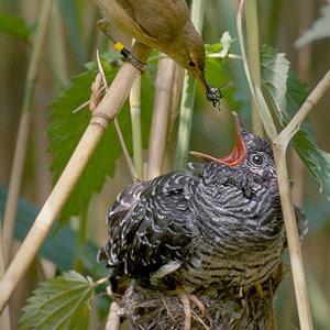 Un poussin roux de coucou n'est pas forcément une femelle