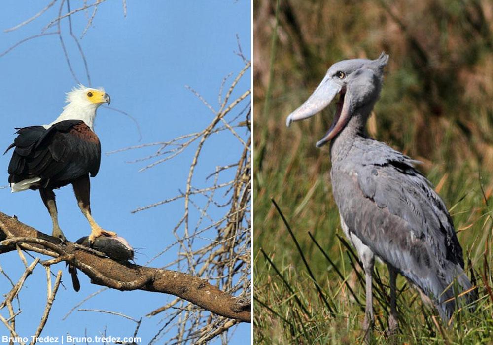 Le Pygargue Vocifere N Hesite Pas A Voler Des Poissons Au Bec En Sabot Du Nil En Tanzanie Ornithomedia Com