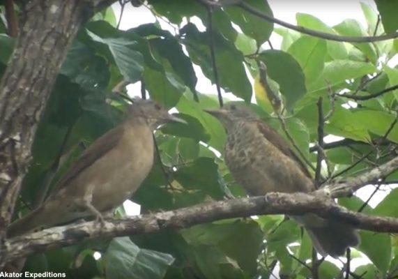 Description d'une nouvelle sous-espèce du Merle leucomèle dans la Serranía de Chiribiquete (Colombie) | Ornithomedia.com