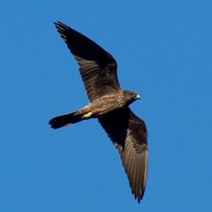 Les Faucons d'Éléonore chasseraient les passereaux migrateurs à une hauteur moyenne de plus de 1 200 m