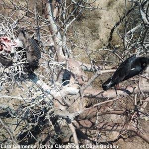 Un Aigle de Verreaux mange un oisillon de Vautour africain dans son nid au Zimbabwe