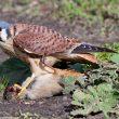 Observation remarquable d'une Crécerelle d'Amérique se nourrissant de la carcasse d'une dinde
