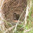 Identifier les nids et les œufs des oiseaux des champs et des prairies d'Europe