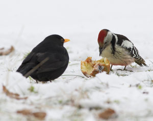 Comment Nourrir Les Oiseaux En Hiver Ornithomedia Com