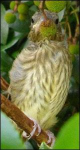 Jeune Verdier d'Europe (Carduelis chloris)