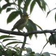 Quelques conseils pour repérer un oiseau chanteur caché