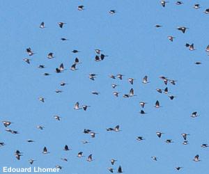 Pigeons ramiers (Columba palumbus)