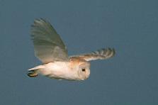 Effraie des clochers (Tyto alba)
