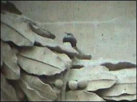 Tichodrome échelette (Tichodroma muraria)
